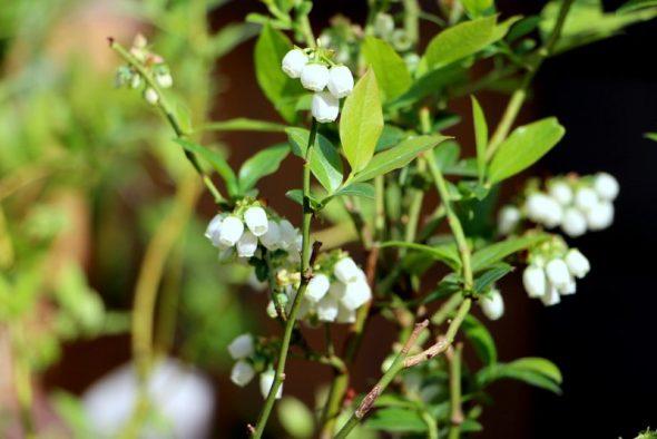 Tips til at dyrke blåbær i surbundsbed