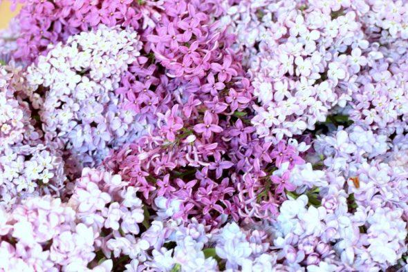 lav saft af dine syrener i haven