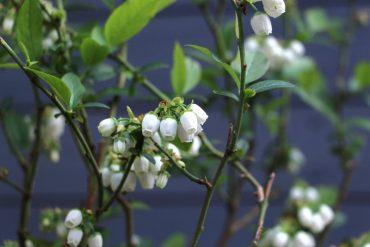 Hvordan planter man blåbærbuske i egen have