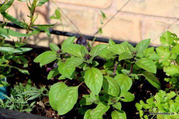 hvordan dyrker man basilikum i højbed