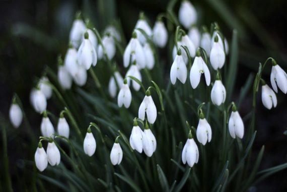 viden om vintergækker eller galanthus